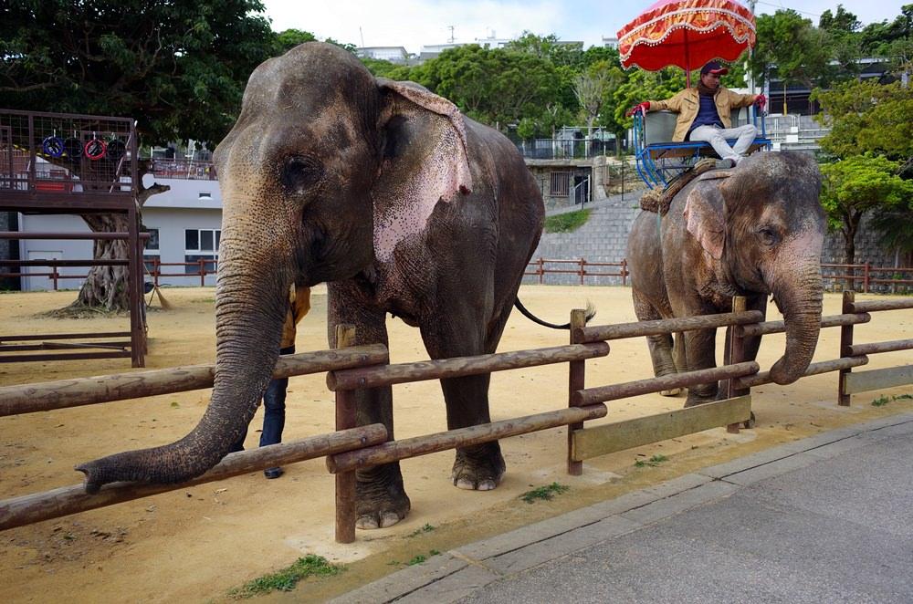 網站熱門文章:2018沖繩中部景點兒童王國(沖縄こどもの国) 近距離接觸大象和各種動物