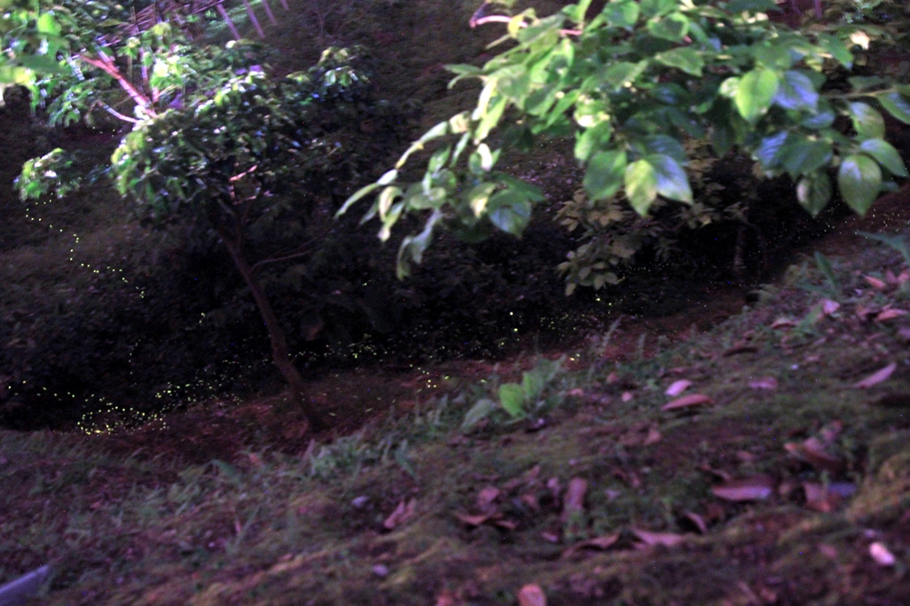 新竹尖石│最美草皮麥樹仁 海拔480 冬賞櫻和夏賞螢火蟲 天然泉水戲水池 近內灣老街